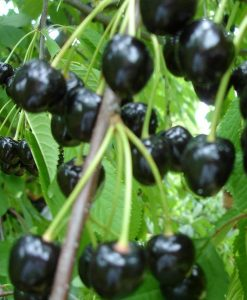 cires negru amar maxut