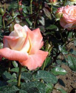 trandafir fiji