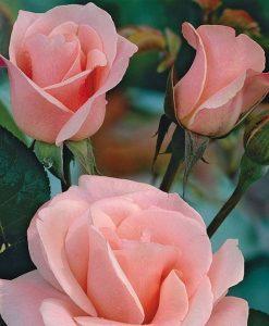 trandafir flamingo