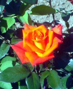 trandafir monika tanaknom