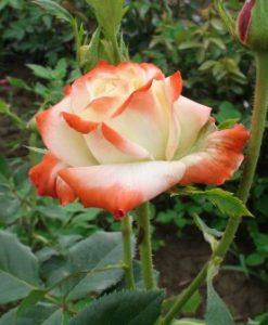 trandafir printesa kaiserin farah